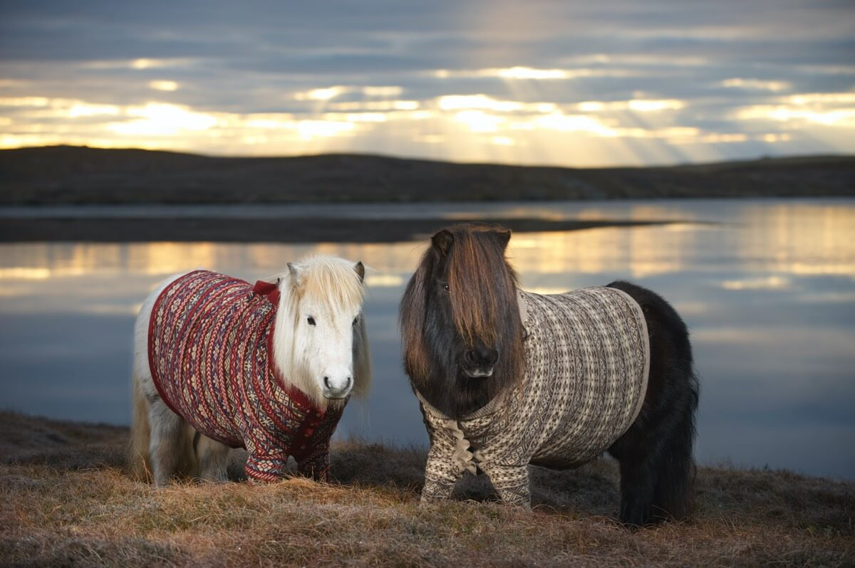 Shetland Ponies wearing cardigans Client: VisitScotland Rob McDougall Professional Photographer and Film Maker Edinburgh