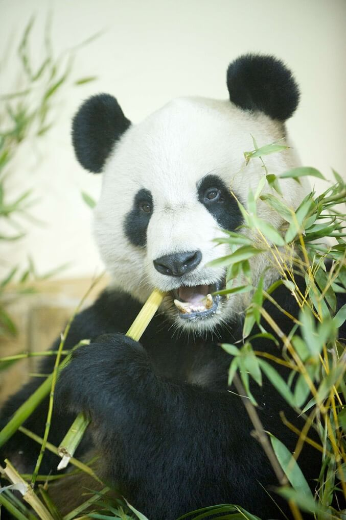 Giant Pandas arrive at Edinburgh Zoo Client: RZSS Rob McDougall Professional Photographer and Film Maker Edinburgh